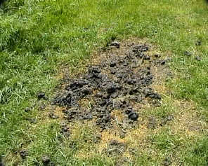 A typical alpaca poo pile.