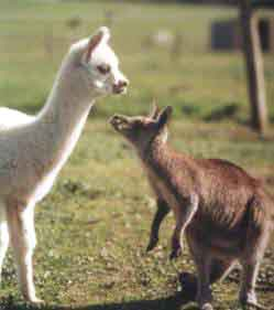 Alpacas are very curious animals.